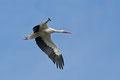 Weißstorch im Überflug