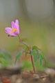Buschwindröschen rosa
