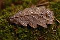 Eichblatt im Herbst