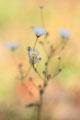 Wucherblume