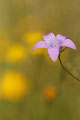 Wiesenglockenblume