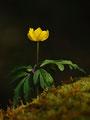 Gelbe Anemone