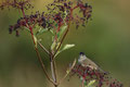 Mönschsgrasmücke