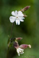Weisse Lichtnelke (Silene latifolia)