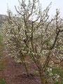 Zwetschgenbäume in der Blüte