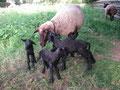 Unser ältestes Schaf mit ihren 4-lingen