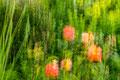 Natur mal anders:  Rosengarten / Nature seen differently:  Rose Garden