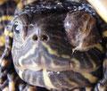 Hypovitaminose A bei einer Schildkröte