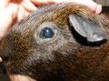 Heterotope Knochenformation in der Iris eines Meerschweinchens
