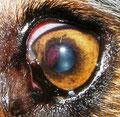 Adenokarzinom des Ziliarkörpers bei einem Hund