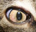 Linsentrübung durch Encephalitozoon-Infektion bei einer Katze