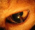 Fremdkörper in der Hornhaut und Linse einer Katze