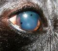 Bandage-Kontaktlinse bei einem Hund