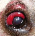 Auge eines Hundes nach einer Schussverletzung
