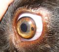 Gutartiges Irismelanom beim Hund