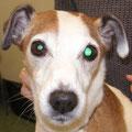 Schielen und unterschiedlich weite Pupillen bei einem Hund mit einem Hirntumor