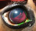 Traumatische Blutung in die vordere Augenkammer beim Pferd