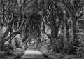 The Dark Hedges / Co. Antrim, Ulster