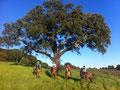 lovely Ribatejo countryside, beautiful corktree