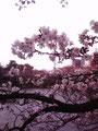 鶴舞公園の桜。