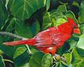 """""""Northern Cardinal"""" 9x12´, 30x40cm gerahmt, Uart 400, Sennelier, (C)D.Saul 2016"""