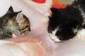 Les chatons qui tête une whippette