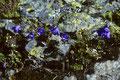 Glockenblume  Campanula scheuchzeri