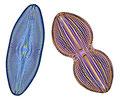 Diatomées