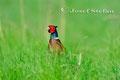 Vögel: Fasan in seiner schönsten Pracht
