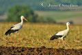 Vögel: Weißstörche machen Rast im Schmidatal