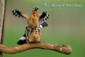 Wiedehopf: Wiedehopf bei der Paarung
