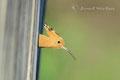 Wiedehopf schaut aus dem Brutkasten