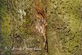 Eulen: Gut getarnt sitzt der Waldkauz in einem Spalt einer Eiche.