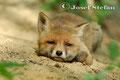 Jungfüchse: Müder Fuchswelpe