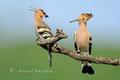 Wiedehopfpaar