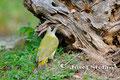 Vögel: Grünspecht auf Ameisensuche
