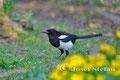 Vögel: Elster