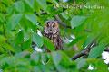 Eulen: Waldohreule in ihrem Tagesversteck
