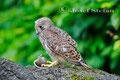 Vögel: Turmfalke mit Maus