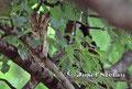 Eulen: Die Zwergohreule ist sehr selten zu entdecken.