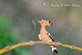 Wiedehopf: Wiedehopf mit Regenwurm