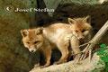 Jungfüchse: Zwei neugierige Jungfüchse