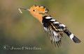 Wiedehopf: Wiedehopf fliegt mit Beute zur Bruthöhle