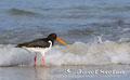 Vögel: Austernfischer am Strand von Helgoland