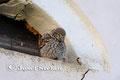 Steinkauz: Steinkauz vor dem Brutkasten