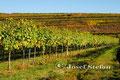 Wagram: Weingarten mit Wagramkante