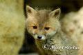 Jungfüchse: Fuchswelpe mit treuherzigem Blick