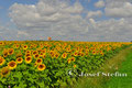 Schmidatal: Sonnenblumenfeld bei Wartberg