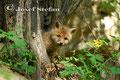 Jungfüchse: Jungfuchs blickt interessiert zur Kamera