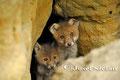 Jungfüchse: Zwei Jungfüchse schauen neugierig aus dem Bau